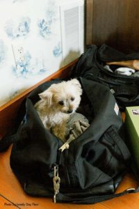 Dog sits in bag before wedding