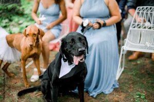 Dog in tuxedo collar at wedding