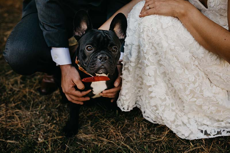 Black French Bulldog in red bowtie at wedding